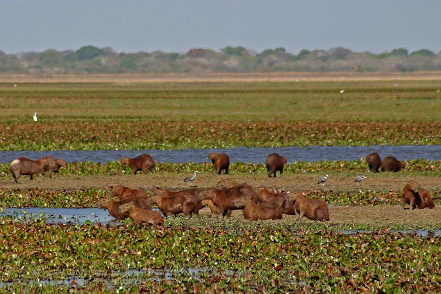 2007 02 Capybaras 05 - Venezuela y sus riquezas naturales