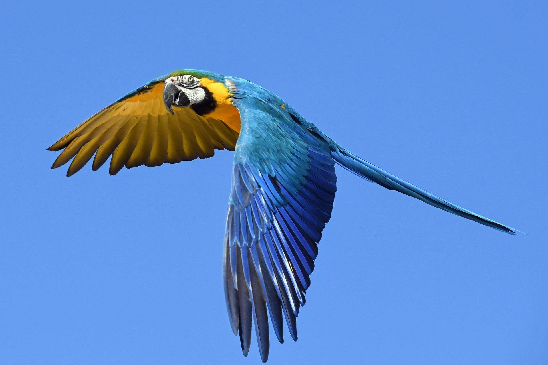 parrot 2796766 1920 - Guacamayas que adornan el cielo de Caracas