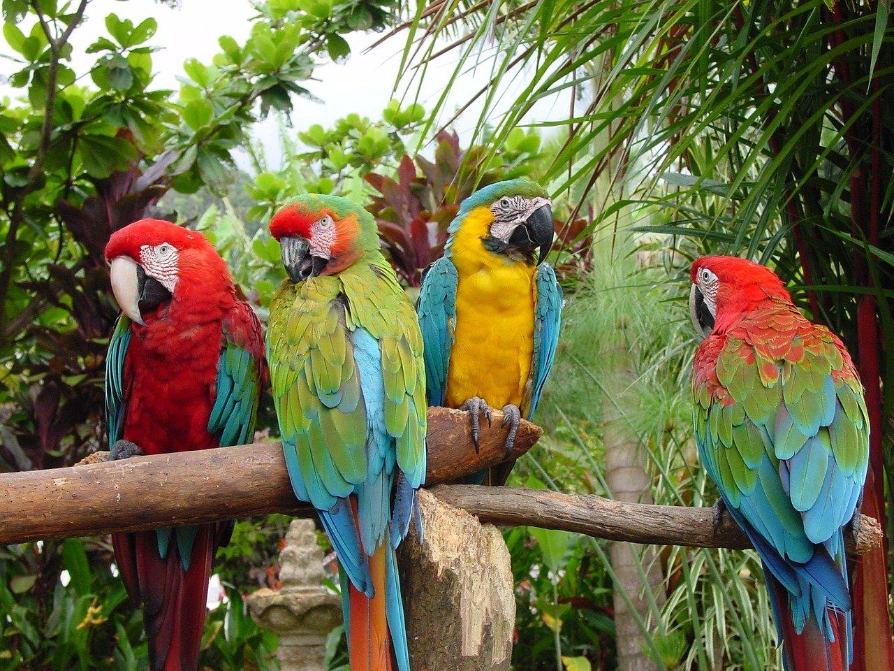 parrots 1438063 1280 - Guacamayas que adornan el cielo de Caracas